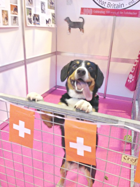 A smiling Bella at the Entlebucher Mountain Dog stand